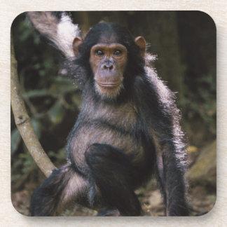 Chimpanzee Young Female Beverage Coaster