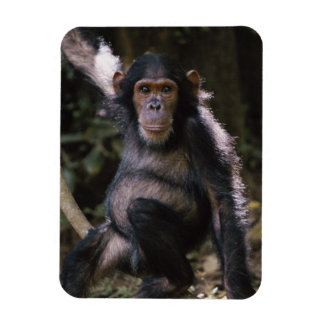 Chimpanzee Young Female Rectangular Photo Magnet