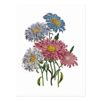 China Asters Postcard