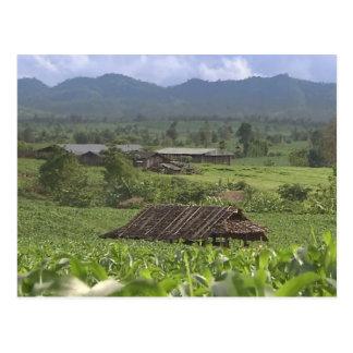 China Herbal Meditional Plants harvesting Yunnan Postcard