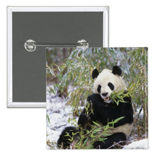 China, Sichuan Province. Giant Panda feeds on 2 Inch Square Button