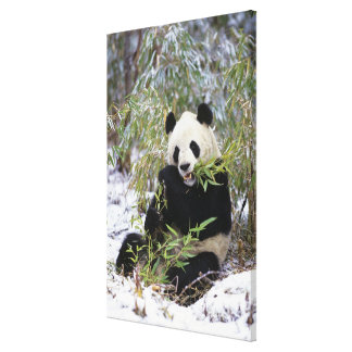 China, Sichuan Province. Giant Panda feeds on Canvas Print