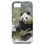 China, Sichuan Province. Giant Panda feeds on iPhone 5 Cover