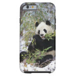 China, Sichuan Province. Giant Panda feeds on Tough iPhone 6 Case