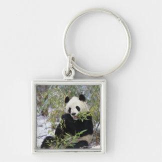 China, Sichuan Province. Giant Panda feeds on Keychain