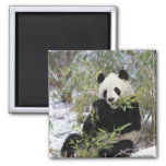 China, Sichuan Province. Giant Panda feeds on 2 Inch Square Magnet