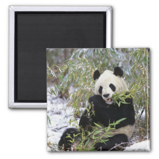 China, Sichuan Province. Giant Panda feeds on Magnet