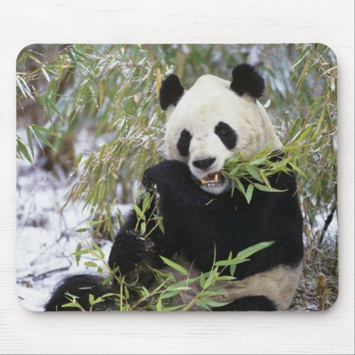 China, Sichuan Province. Giant Panda feeds on Mouse Pad