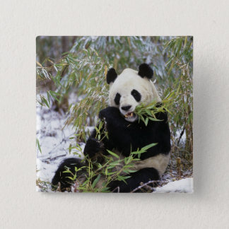 China, Sichuan Province. Giant Panda feeds on Pinback Button