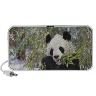 China, Sichuan Province. Giant Panda feeds on Portable Speaker