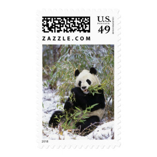 China, Sichuan Province. Giant Panda feeds on Postage Stamp