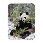 China, Sichuan Province. Giant Panda feeds on Rectangular Photo Magnet