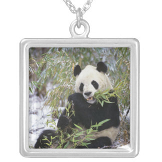 China, Sichuan Province. Giant Panda feeds on Silver Plated Necklace