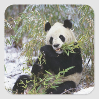 China, Sichuan Province. Giant Panda feeds on Square Sticker