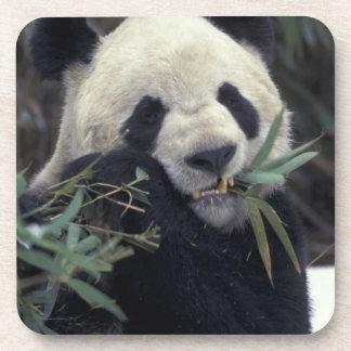 China, Wolong Nature Reserve. Giant Panda feeds Beverage Coasters