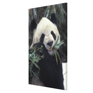 China, Wolong Nature Reserve. Giant Panda feeds Canvas Print