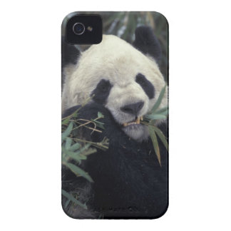 China, Wolong Nature Reserve. Giant Panda feeds iPhone 4 Case-Mate Cases
