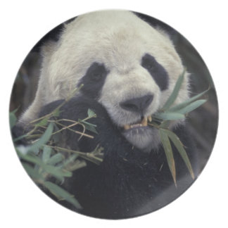 China, Wolong Nature Reserve. Giant Panda feeds Dinner Plate