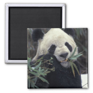 China, Wolong Nature Reserve. Giant Panda feeds Refrigerator Magnets