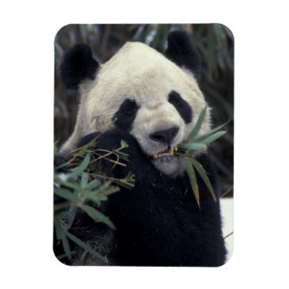 China, Wolong Nature Reserve. Giant Panda feeds Magnet