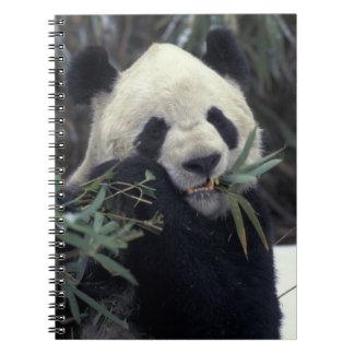 China, Wolong Nature Reserve. Giant Panda feeds Notebook