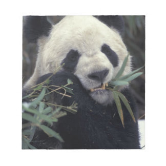 China, Wolong Nature Reserve. Giant Panda feeds Notepads