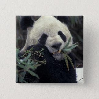 China, Wolong Nature Reserve. Giant Panda feeds Pinback Button