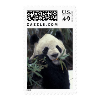 China, Wolong Nature Reserve. Giant Panda feeds Stamps