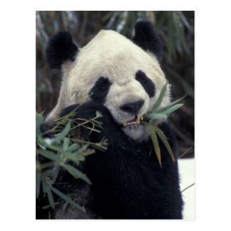 China, Wolong Nature Reserve. Giant Panda feeds Postcard