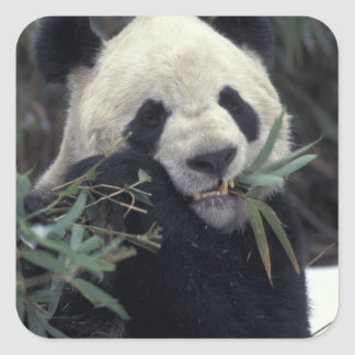 China, Wolong Nature Reserve. Giant Panda feeds Square Sticker