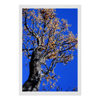 Chinaberry Tree Poster