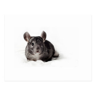 Chinchilla gris linda en manta tarjetas postales