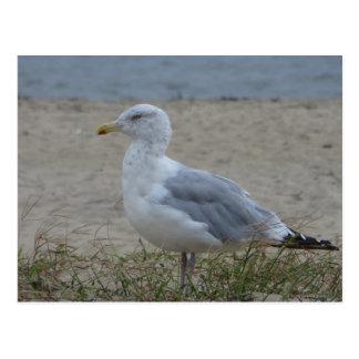 Chincoteague Gull Postcard