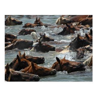 Chincoteague Pony Swim Postcard