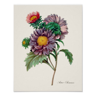 Chinese Aster Flowers by Pierre Redoute Poster