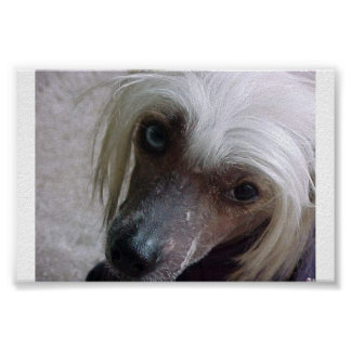 Chinese Crested cutie Poster