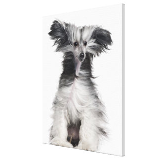 Chinese Crested Dog (15 months old) in the wind Canvas Print