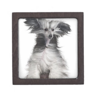 Chinese Crested Dog (15 months old) in the wind Keepsake Box