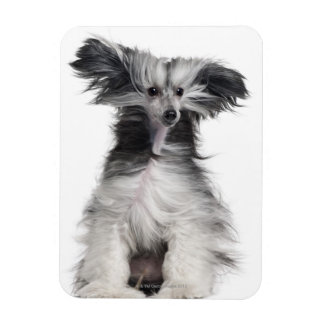 Chinese Crested Dog (15 months old) in the wind Rectangular Photo Magnet