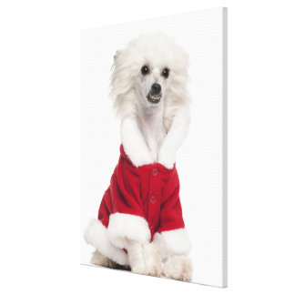 Chinese Crested Dog (1 year old) wearing a Canvas Print