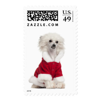 Chinese Crested Dog (1 year old) wearing a Postage Stamps