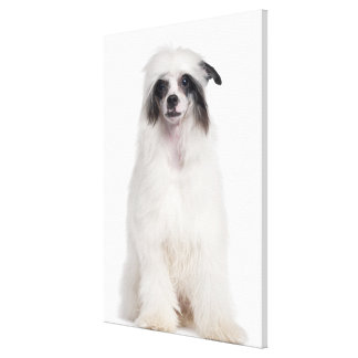 Chinese Crested Dog (7 months old) Canvas Print