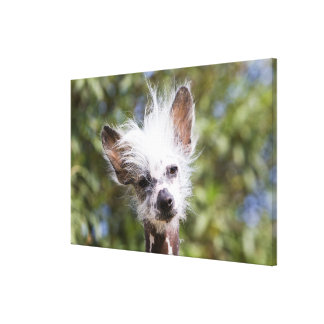 CHINESE CRESTED DOG (HAIRLESS) CANVAS PRINT