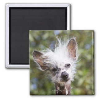 CHINESE CRESTED DOG (HAIRLESS) 2 INCH SQUARE MAGNET