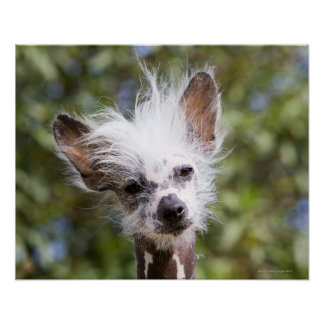 CHINESE CRESTED DOG (HAIRLESS) POSTER