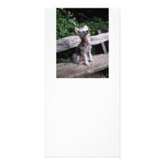 Chinese_Crested_Dog sitting 2.jpg Card