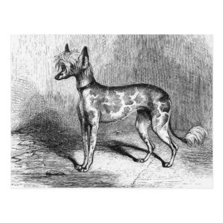 Chinese Crested Dog Vintage Dog Illustration Postcard