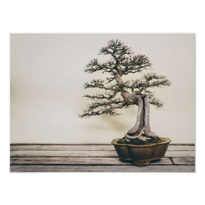 Chinese Elm Bonsai Tree In Winter Poster Zazzle Com