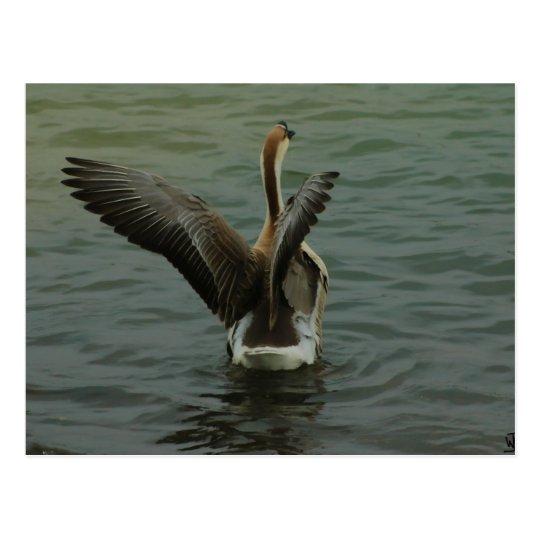 Chinese Goose on Lake Travis Postcard
