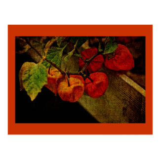 Chinese Lantern Plant With Fruit Postcard